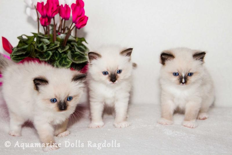 Aquamarine Dolls Ragdoll Kennel - Kisfiú vagy kislány cicát válasszak?