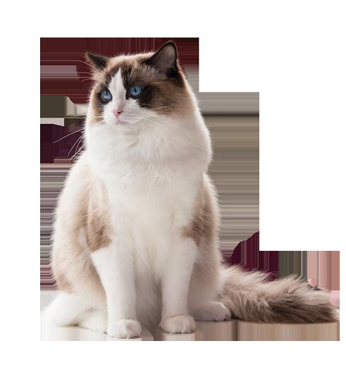 AquamarineDolls Ragdoll Kennel - Ragdoll cicák jellemzői