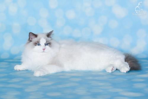 Darlin'lil'dolls Spartacus - Blue bicolor ragdoll kitten