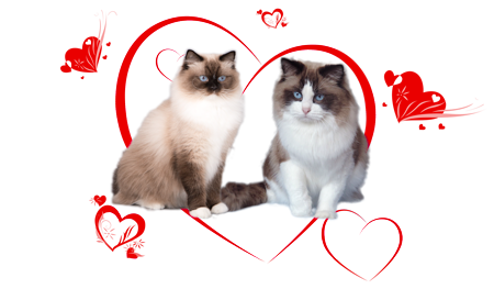 Ragdoll kittens of Rose and Xoel