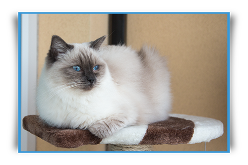 Diamond Dolls Cissy - blue colorpoint ragdoll cat