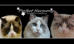 Perfect Harmony Ragdoll Cattery