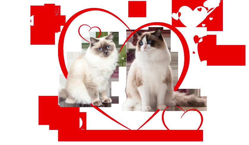 Ragdoll kittens of Cissy and Zucchero