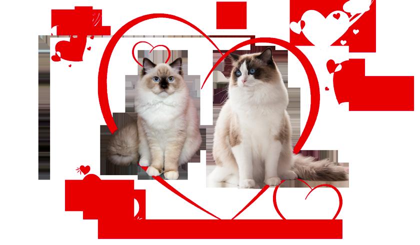 Ragdoll kittens of Rose and Zucchero