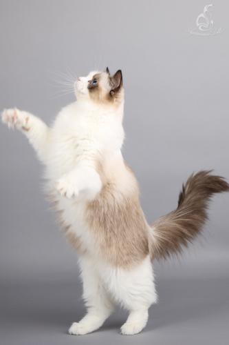 Famanas Hermione - Seal bicolor ragdoll kitten
