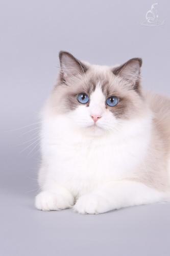 Dolldesire Qiara - Blue bicolor ragdoll kitten