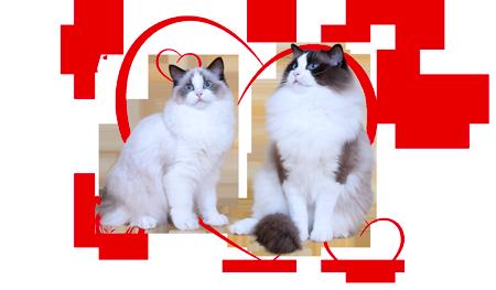 Ragdoll kittens of Hermione és Zucchero
