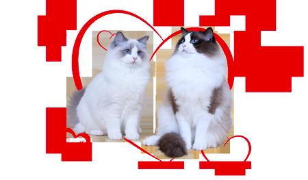 Qiara és Zucchero ragdoll kiscicái