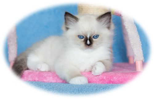 AquamarineDolls - ragdoll kittens