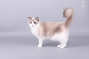 Dolldesire Qiara - ragdoll nőstény cica