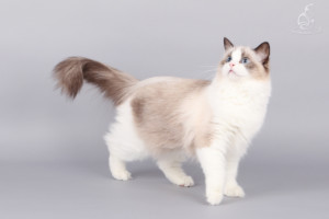 Famanas Hermione - ragdoll nőstény cica
