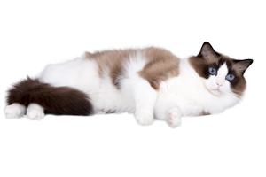 seal-bicolor-ragdoll-cat-zucchero