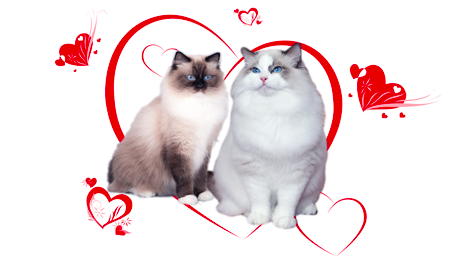 Ragdoll kittens of Rose and Spartacus