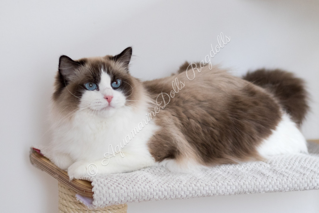 AquamarineDolls ChaCha - female ragdoll cat