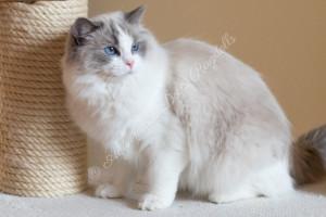 AquamarineDolls ChaCha - ragdoll nőstény cica