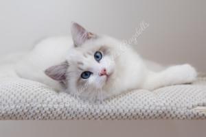Perfect Change Fabulous Harper - Blue lynx bicolor ragdoll kitten