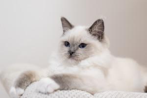 Perfect Change Gorgeous Geisha - Blue mitted ragdoll kitten